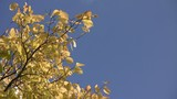 Yellow autumn elm leaves swaying in the wind against a blue sky