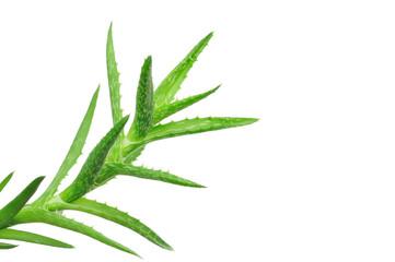 Aloe vera leaves isolated on white