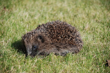 hedgehog in early morning autumn sun
