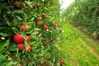 Apfel am Baum - apple on tree 06