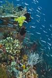 Slender silverside fish swarm poster