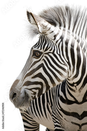 Zdjęcia na płótnie, fototapety na wymiar, obrazy na ścianę : Zebra 001
