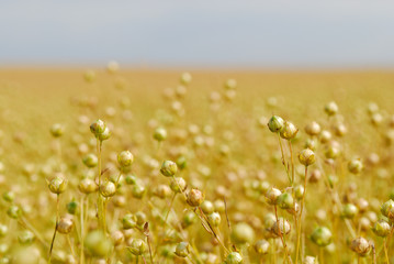 Ripe Commercial Flax Crop