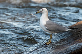 Ring-billed Gull on boulders alongside river