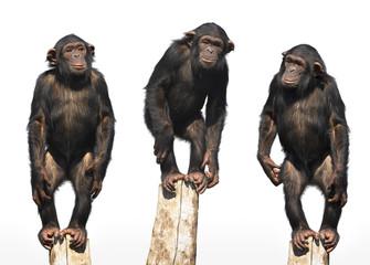 three chimpanzees