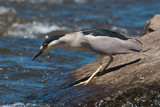 Black-capped Night-heron Fishing in a River on a Boulder