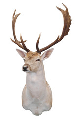 12 Point Fallow Stag's Head with path
