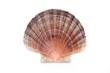 Leinwanddruck Bild - Pectinidae