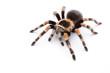 Leinwanddruck Bild - red knee tarantula