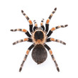 red knee tarantula - 17294546
