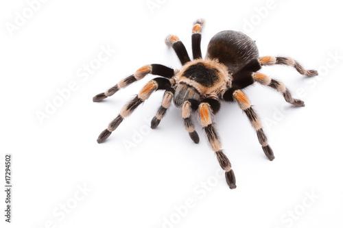 Leinwanddruck Bild red knee tarantula