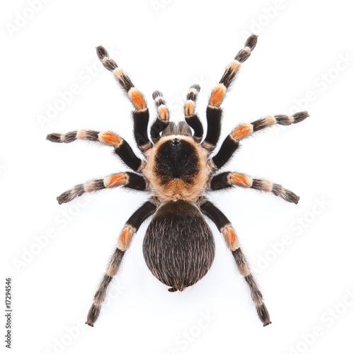 red knee tarantula - 17294546