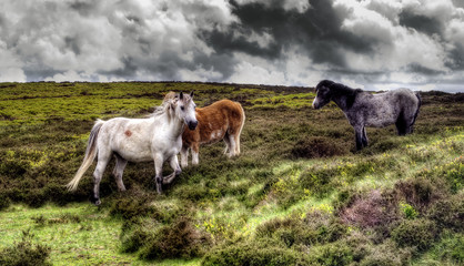 Wild Horses in the Brecon Beacons, Wales