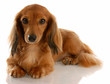 long haired miniature dachshund laying down