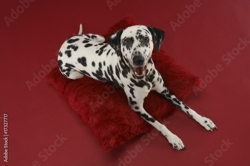 Dalmatian Dog on Pillow