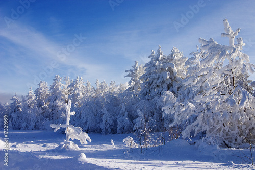 Evergreen fur trees and pines covered by a snow