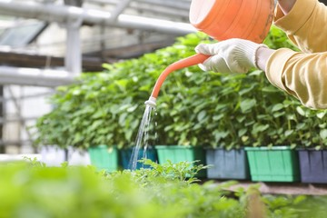 Person watering plants in greenhouse