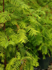 Dawn Redwood Bonsai Tree-1