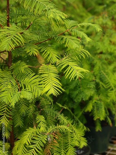 Foto op Aluminium Bonsai Dawn Redwood Bonsai Tree-1
