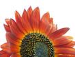 fleur hybride de tournesol