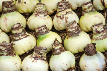 Dutch amaryllis bulbs for sale