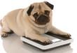 animal health - cute pug dog laying on weigh scales