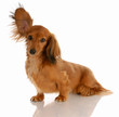 long haired miniature dachshund with one ear standing up