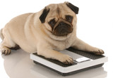 animal health - cute pug dog laying on weigh scales