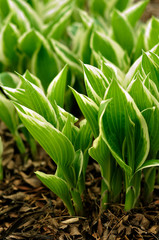 Variegated Hosta Sprouts emerging in the Spring