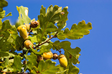 Oak tree branch with acorns