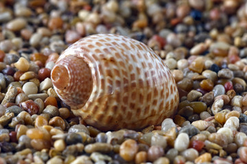 shell on pebble beach