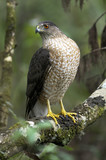 coopers hawk, accipiter cooperii poster