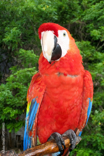 Scarlet Macaw Perched