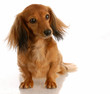miniature long haired dachshund sitting on white background