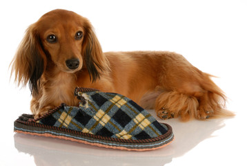 long haired dachshund laying down beside chewed slipper