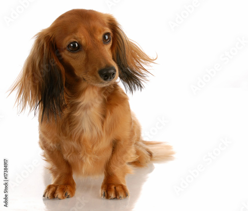 long haired dachshund photos. long haired dachshund