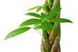 Image - Pachira tressé, plante tropicale isolé sur fond blanc