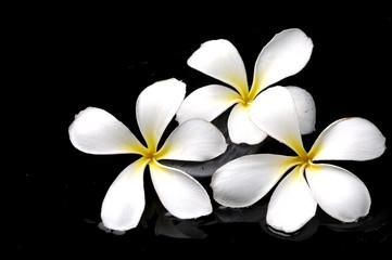 bright frangipanis flower