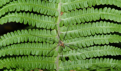 A daddy-long-legs on a leaf of a fern