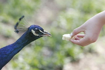 Closeup of a hand (feeding a peacock with bread)