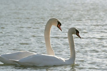 Majestic swans on the lake in the light of the sun in winter
