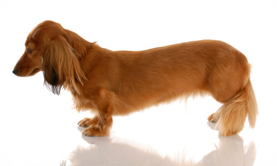 long haired dachshund standing from the side view