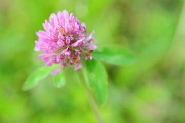 purple clover flower landscape