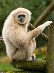 Lar Gibbon, monkey