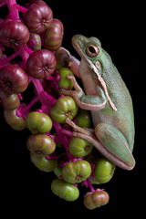 Green tree frog on berries
