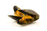 Boiled mussels over white background