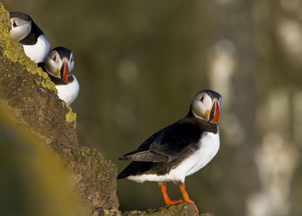 A couple of atlantic puffins (Fratercula arctica)
