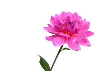 Pink Dahlie,freigestellt auf Weiss