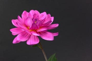 Dahlie- Pink,freigestellt auf Schwarz