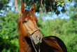 Red hack stallion of riding stables (Vladivostok, Russia)
